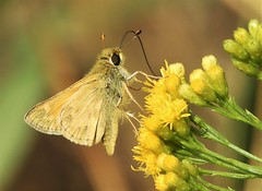 A Woodland Skipper in Woodland, ha ha! (Ruby 2417) Tags: woodland skipper butterfly insect wildlife nature cache creek
