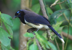 Black-chested Jay (Cyanocorax affinis) (Gavin Edmondstone) Tags: cyanocoraxaffinis blackchestedjay eldoradobirdreserve colombia bird jay