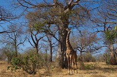 IMGP5198 Nothing is too high ! (Claudio e Lucia Images around the world) Tags: ruahanp tanzania giraffa giraffe baobab tree hightree feeding tall pentax pentaxk30 pentax18135 pentaxart africa africageographic nationalgeographic animal tallanimal eating sunnyday