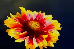 Gaillardia 'Kobold' (HansHolt) Tags: gaillardia kobold blanketflower kokardebloem flower bloem red rood yellow geel macro canoneos6d canonef100mmf28macrousm