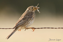 [In Explore] Emberiza calandra Bruant proyer Corn Bunting Triguero Grauammer (֍ Bernard LIÉGEOIS ֍) Tags: espagne españa spain estrémadure extremadura arrocampo saucedilla lac lake embalse oiseau oiseaux bird birding birds birdwatch birdwatching emberizacalandra explored explore inexplore