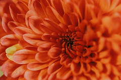 Dahlia... (Jess Feldon) Tags: lookingcloseonfriday petals closeup flower dahlia jessfeldon lookslikefilm colour orange macro