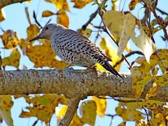 Northern Flicker, Cle Elum, WA 10/13/18 (LJHankandKaren) Tags: woodpecker flicker northernflicker northernpacificrailroadponds