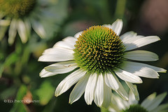 Sunny white