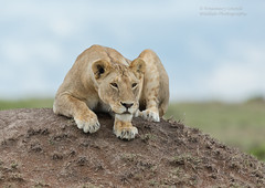 Lioness - Panthera leo (rosebudl1959) Tags: 2017 kenya masaimara zebraplains november lioness