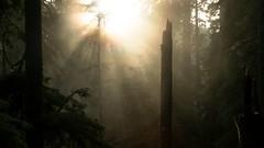 (Brendan Erazo) Tags: quinault rainforest washington wildwashington northwest pnw forest trees sunset light fog mist mystery