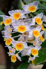 DSC_2128 (ramorims) Tags: orquidea orchids flor flower cor color natureza nature nikon d550 ramorims quintaflower flowerthursday primavera spring