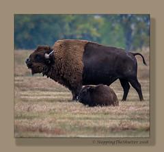 _R5A1503-Edit (StoppingTheShutter Photography) Tags: bird bison buffalo co colorado denver eagle hawk rockymountainarsenal westminster