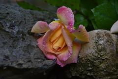 DSC_1978 (griecocathy) Tags: macro rose pierre feuille gris beige vert jaune gouttelette eau