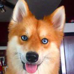 Pomeranian Husky Dog Breed Facts & Information (katalaynet) Tags: follow happy me fun photooftheday beautiful love friends