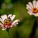 Bumble Bee Feeding on Flowers