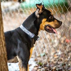 Pigtails13Oct201865.jpg (fredstrobel) Tags: dogs pawsatanta atlanta usa animals ga pets places pawsdogs decatur georgia unitedstates us