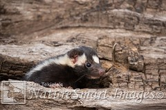 Eastern Spotted Skunk in log Tekiela TEK6435 (Stan Tekiela's Nature Smart Wildlife Images) Tags: allrightsreserved authornaturalistwildlifephotographer easternspottedskunkspilogaleputorius mammals vertebrates vertibrate mammalia fur hair terrestrial land animal minnesota unitedstatesofamerica usa naturesmartimagesbystantekiela stantekiela copyright allrightsreservered stockimage professionalphotographer images wildlife animals nature naturalist wild stockphotos digitalimages critter stockimages undercontroledcondtions