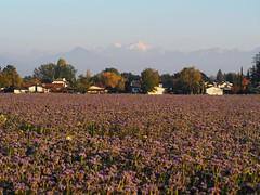 Le Mont Blanc (Michele Ginolfi) Tags: mont blac france italy swi switzerland lavande plant lavander lavanda piante fiori viola violet montagne monte bianco francia svizzera vista panorama view