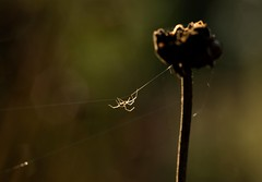 Autumn brings out spiders. (reynardfox) Tags: arachnids ngc spiders autumnwatch