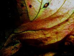 Abstract Foliage Art (PinoyFri) Tags: blatt laubblatt laub leaf foliage autumnleaf fogliame automne herbst artwork farbig strukturen structures strutture 結構 構造 nature autumnal abstract
