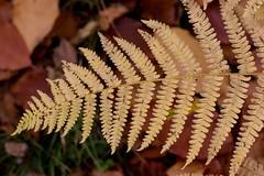 Fading Fern (digiphill) Tags: 2018 autum autumncolour botanicalgarden closeup dawyckgardenspeebles edinburghbotanicalsociety fern macro october scottishborders