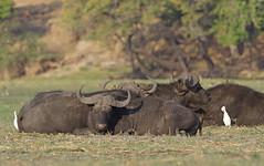 African buffalo 1 (nisudapi) Tags: buffalo africanbuffalo capemammal2018africawildlifebotswanaboatriversafarichobechobe rivernational park animal