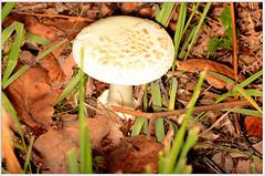 false deathcap (2) (bobspicturebox) Tags: mushrooms horse head backbone honeycomb cep penny bun fly agaric blusher brittle stem false death cap knight deceiver russula forest scenes hampshire