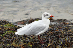 Mediterranean Gull (Larus melanocephalus) (RiverCrouchWalker) Tags: mediterraneangull larusmelanocephalus gull studlandbeach nationaltrust dorset studland bird september autumn 2018 seaweed coast