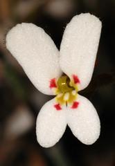 Stylidium vinosum (jeans_Photos) Tags: 2008 stylidium stylidiumvinosum white stylidiaceae p1 anvilblock julimar westernaustralia