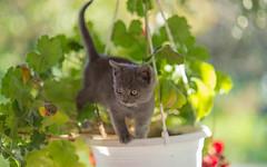 Kika (06) (Vlado Ferenčić) Tags: kitty kittens pets vladoferencic catsdogs vladimirferencic cats animals animlplanet nikond600 nikkor8518 zagorje hrvatska croatia klenovnik