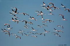 Estol de Flamencs (Enllasez - Enric LLaó) Tags: estol flamencos flamencs deltadelebre deltadelebro delta 2018 aves aus bird birds ocells pájaros