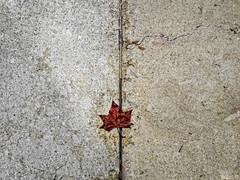 ... (ángel mateo) Tags: ángelmartínmateo ángelmateo málaga españa andalucía hoja otoño spain andalusia autumn leaf