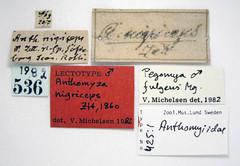 Anthomyza nigriceps Zetterstedt, 1860 (Biological Museum, Lund University: Entomology) Tags: diptera anthomyiidae anthomyza nigriceps pegomya fulgens mzlutype00425