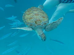 PA160122 (iainjmcd) Tags: bridgetown barbados october 2018 calabazasailingcruises seaturtle