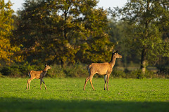 In the shadow of its mom (adambotond) Tags: reddeer cervuselaphus fawn hind outdoor goldenhour forest field somogy stvsz autumn magyarország mammal hungary europe canon canoneos1dx canonef400f4doisiiusm nature naturephotography wildlife wildlifephotography wild wilderness wildanimal adambotond tripod deer tree animal