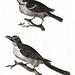 Sparrow an a bird with serrated beak by Johan Teyler. (1648-1709) Original from the Rijks Museum. Digitally enhanced by rawpixel.