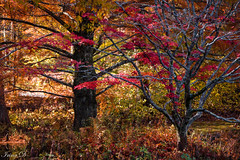 Colors of November (Irina1010) Tags: trees colorful foliage red orange maple cypress nature vegetation autumn november 2018 canon oñp outstandingromanianphotographers coth5
