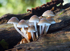 Funghi sul tronco (Darea62) Tags: mushrooms nature wood trunk autumn forest mycena fungus fungi toadstool poisonous
