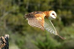 Barn owl (epicDi) Tags: canadianraptorconservancy barnowl birdofprey ontariocanada iamcanadian