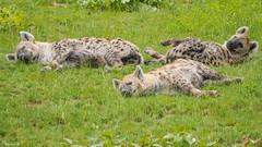 TRIO - 5963 (ΨᗩSᗰIᘉᗴ HᗴᘉS +23 000 000 thx) Tags: trois three trio animal pairidaiza nature hyène hensyasmine namur belgium europa aaa namuroise look photo friends be wow yasminehens interest intersting eu fr greatphotographers lanamuroise