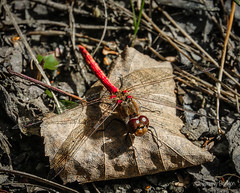 Red Dragon in Forest (JKmedia) Tags: dragonfly nature wildlife devon chudleigh pond autumn october 2018 boultonphotography sonyrx10iii wings translucent split leaf laying sunlit green yellow brown