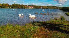 Minsk (free3yourmind) Tags: minsk belarus nature green lake swans birds ducks clouds cloudy day