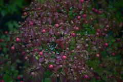 Dogwood tree berries (D70) Tags: dogwood tree berries 278365 taken trough window fruit is sought after by birds mammals sigma 150 600mm f5 63 dg os hsm contemporary nikon d750 150600mm f563 ƒ63 5382mm 12000 12800