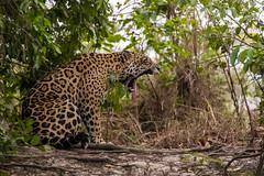 _S4I3162-2 (Samuel Maglione) Tags: pantheraonca brazil jaguar pantanal