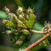 2012-02-25 TEC Trails-0112 Mimosa pudica - E.P. Mallory