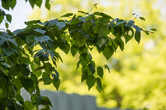 Betula ermanii (Betulaceae) (Woodmen19) Tags: betula betulaermanii betulaceae russia kirovregion kirov vyatka botanicalgarden nature flora plants frond branch branches foliage leaves tree 2018 summer june берёза birch