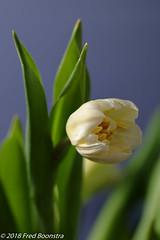 "In our livingroom, early ""Dutch Tulips"" (Fred / Canon 70D) Tags: jinbei jinbeidiffusionjumboumbrella jinbeiwhiteumbrella falconeyesskk2150d falconeyes ef100mmf28lmacroisusm canon canon70d canoneos tulip dutchtulips eefde closeup"
