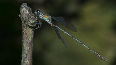 Willow Emerald Damselfly - Chalcolestes viridis (prajpix) Tags: damselfly dragonfly insect animal green blue forest woodland trees epping nature wild wildlife autumn twig perch england