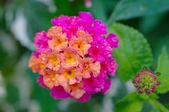 DSC_1455 (Lyn_roc) Tags: gibbsgardens flora nature green nikon d3200 water leaf leaves flower pink orange droplets