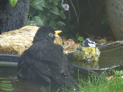 look this way (river crane sanctuary) Tags: blackbird bluetit rivercranesanctuary