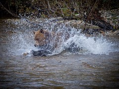In For the Kill (Chris Willis 10) Tags: bears canada surfing vancouver nature animal water river mammal outdoors wildlife danger wet carnivore animalsinthewild forest brown grizzlybear hunting fishing
