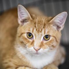 Carlton Banks13Oct20186.jpg (fredstrobel) Tags: pawsatanta atlanta places pets animals ga usa pawscats cats decatur georgia unitedstates us