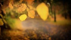 """This is Autumn"" (ianmiddleton1) Tags: autumn fall autumnal leaves bokeh blur shallowdof"
