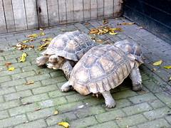 born_060 (OurTravelPics.com) Tags: born tortoises kasteelpark zoo